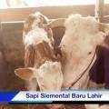 Sapi-Siemental-BAru-lahir