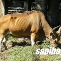 ASAL SAPI BALI