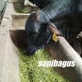 Pakan-hijauan-sapi
