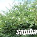 Bunga-kaliandra-sapi