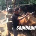 Praktek-kesehatan-sapi