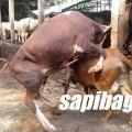 Sapi-Birahi-Kawin