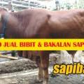 Promo-Jual-Bakalan-Sapi-Limousin-400kg
