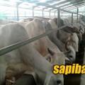 Sapi-Sumba-Ongole