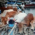 Kapal-ternak-sapi-tradisional