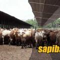 sapi-impor-brahman-cross
