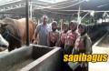 kunjungan-anak-peternakan-sapi