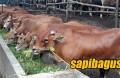peternakan-sapi-rakyat