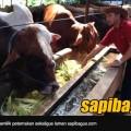 edy-wijayanto-sapibagus-bbc