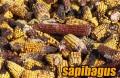 jagung-terkena-alfatoksin