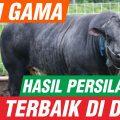sapi gama sapi terbaik dunia